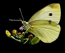 White Butterfly  by RoseMarie747