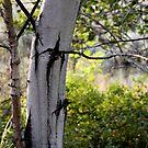 poplar grove by TerrillWelch