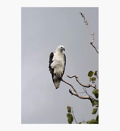 White bellied sea eagle Photographic Print