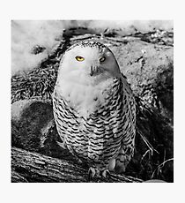 Snowy owl with stunning eyes Photographic Print