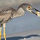 Immature night heron with catch! by Anthony Goldman