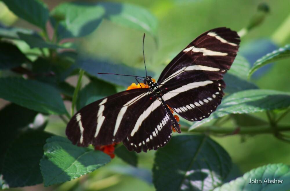 Zebra Longwing Butterfly by John Absher