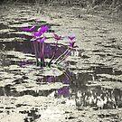 Purple Lily by AlbertStewart