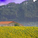 Sunflowers by zook