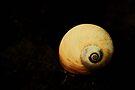 Moon Snail by Joshua Greiner
