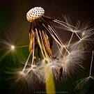 Dandelion I by Julie-anne Cooke Photography
