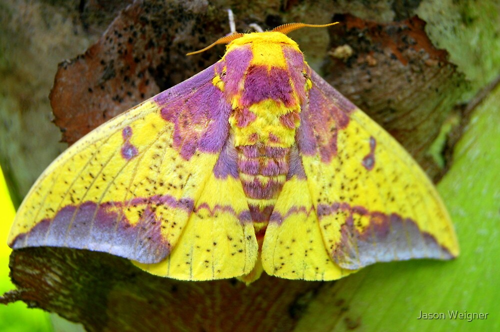Imperial Moth (Eacles imperialis tucumana) - Pailon, Bolivia by Jason Weigner