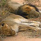 Sleeping big cats by Anthony Goldman