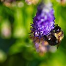 Bumble Bee on the Flower by vasasphoto
