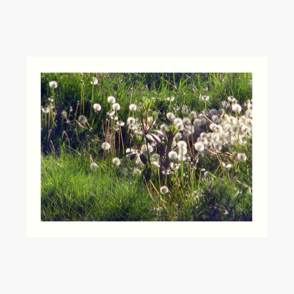 Field of Dandelion Seed Heads Art Print