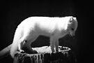 Arctic Fox by Joshua Greiner