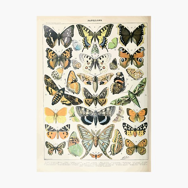 Adolphe Millot papillons A Photographic Print