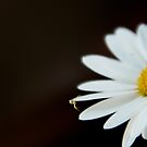 Daisy hitch hiker by Roxane Bay