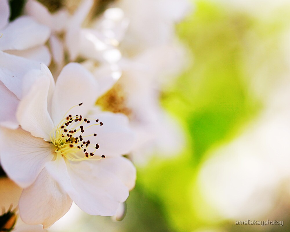 Bright White Bloom by ameliakayphotog