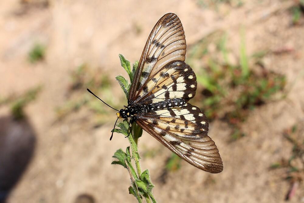 Glasswings by burnettbirder