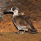 Pink - eared Duck - Magpie Springs - Adelaide Hills Wine Region -  South Australia by MagpieSprings