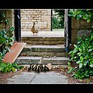 Duckling family day out by Hugster62