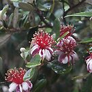 Feijoa - Magpie Springs - Adelaide Hills Wine Region - South Australia by MagpieSprings
