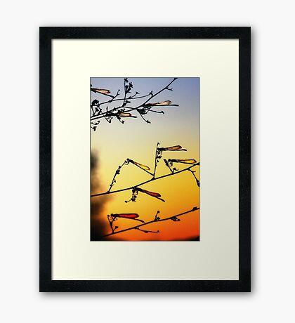 Sunset Dragonflies Framed Print