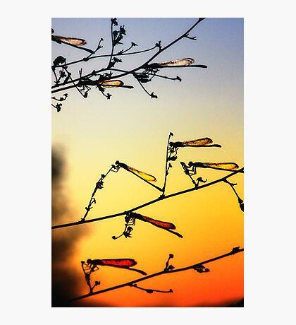 Sunset Dragonflies Photographic Print
