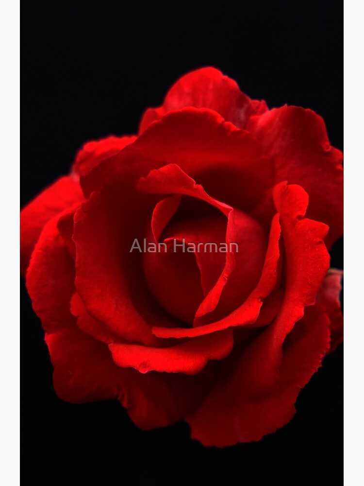 Red Rose by AlanHarman