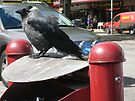 Jackdaw in Gävle by ellismorleyphto