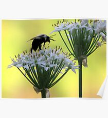 Chive Flowers and the Bee Poster