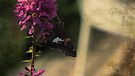 Silver-spotted Skipper + Purple Loosestrife by Aaron Campbell
