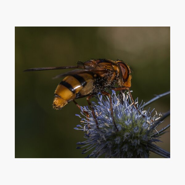 Queen Hoverfly on Thistle  Photographic Print