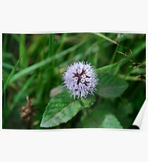 Water Mint Poster