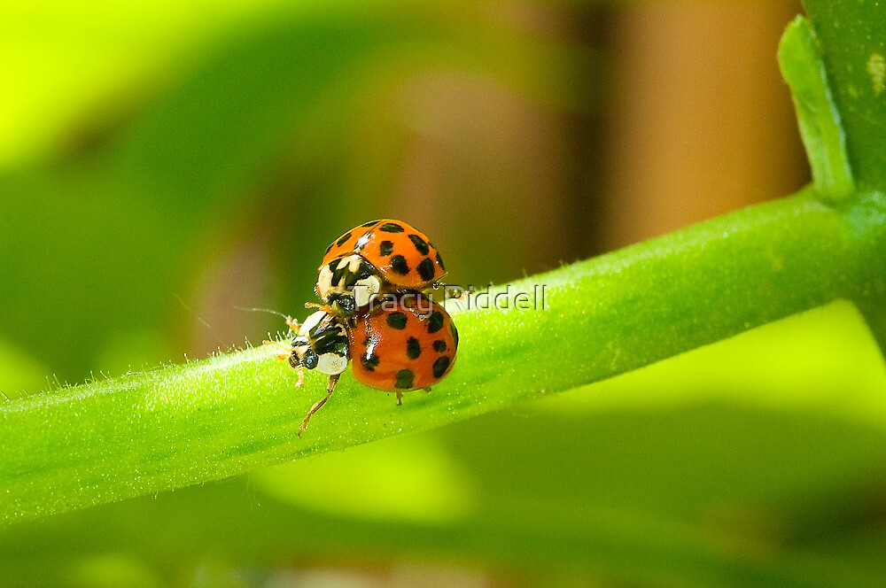 Ladybugs  by Tracy Riddell