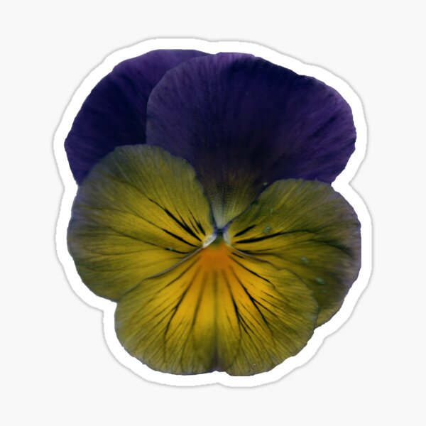 Stiefmütterchen-Blüte Sticker