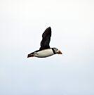 Puffin Flying by Nigel Bangert