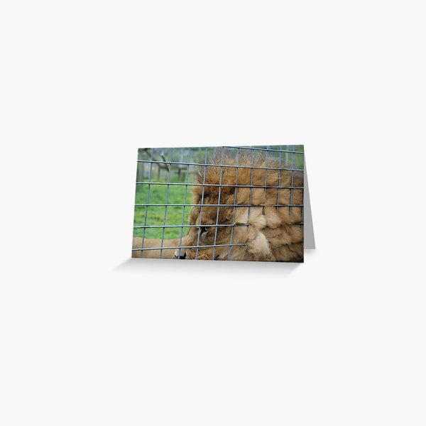 Majestic lion the king of jungle in enclosure zoo Greeting Card