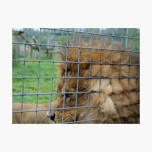 Majestic lion the king of jungle in enclosure zoo Photographic Print
