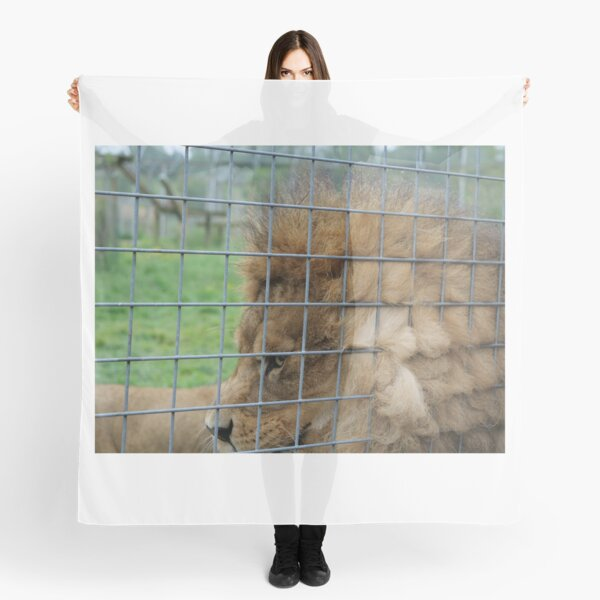 Majestic lion the king of jungle in enclosure zoo Scarf
