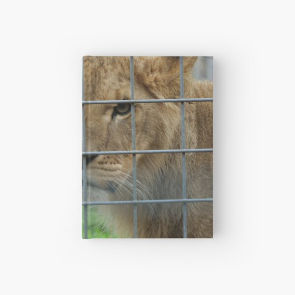 Lioness stare from inside enclosure zoo Hardcover Journal