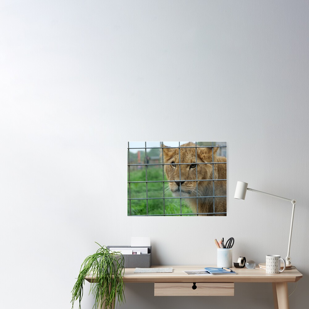 Lioness stare from inside enclosure zoo Poster
