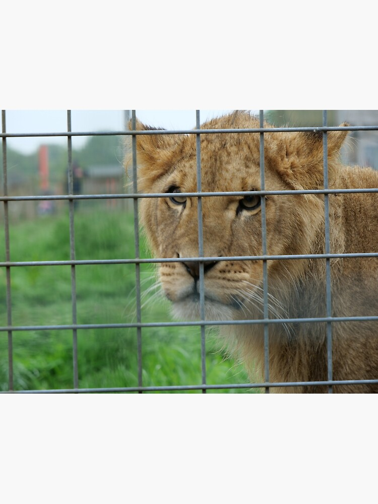 Lioness stare from inside enclosure zoo by santoshputhran