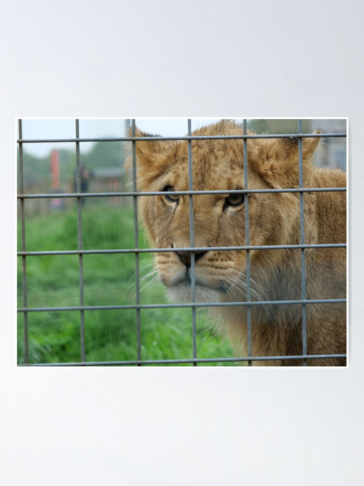 Alternate view of Lioness stare from inside enclosure zoo Poster