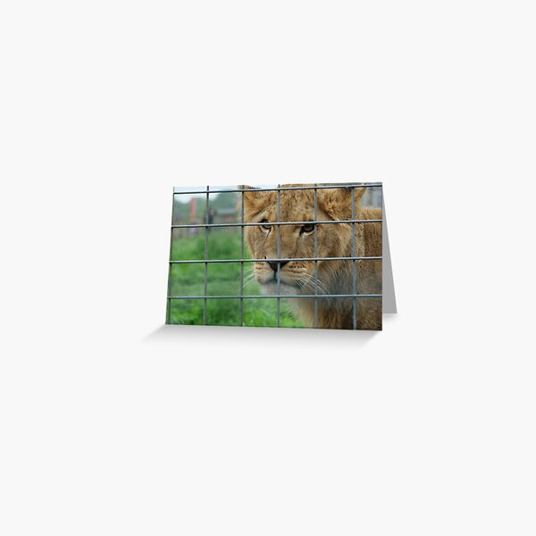 Lioness stare from inside enclosure zoo Greeting Card
