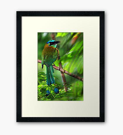 Blue-crowned Motmot (Momotus momota) - Costa Rica Framed Print