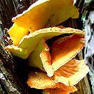Plicaturopsis crispa by alaskaman53