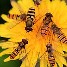 A Hoverfly Feast by jennimarshall