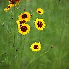 Coreopsis by Brian Haslam