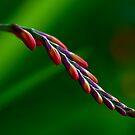 Lily of Fire by Carolann23