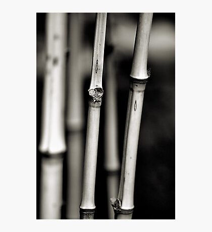 Bamboo in B&W Photographic Print