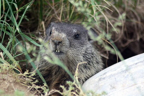 The Baby (Groundhog) by rasnidreamer