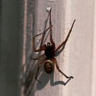 False widow spider - Steatoda nobilis by evilcat