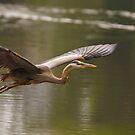 Great Blue Heron by Joe Elliott